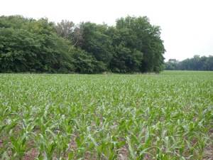 Corn field on the home place.