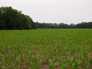Corn crop in early summer on the Kansas farm of Lester's childhood.